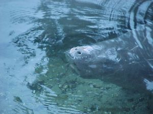 Manatee Hunting in Florida