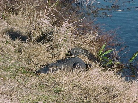 Brazos Bend Alligator