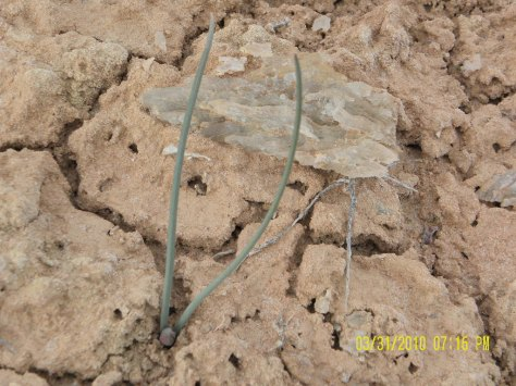 Gypsum crystal and budding flower on parched ground in Goblin Valley