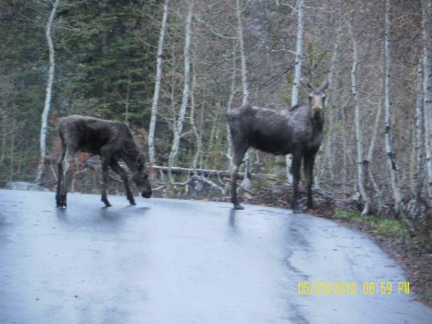 Moose Cow and Calf in Lodgepole Campground Group 1