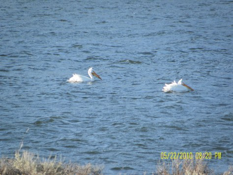 Pelicans on Strawberry Res