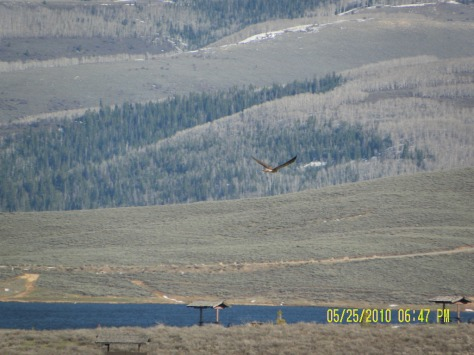 Hawk over Strawberry Res