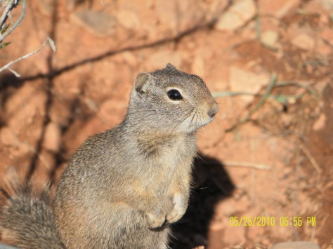 Potgut - Uinta Ground Squirrel