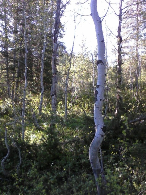 Aspen Stand In Lodgepole Campground