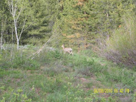 Deer in Lodgepole Campground, near Heber City, Utah