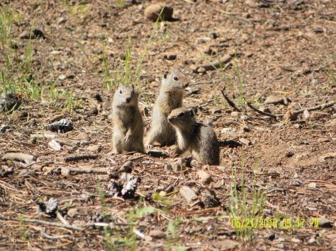 Potgut (Uinta Ground Squirrel) Triplets