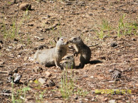 Potgut (Uinta Ground Squirrel) Family