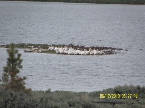 White Pelicans Huddling