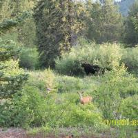 Lodgepole Moosey