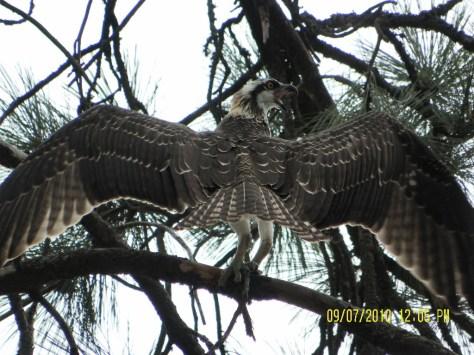 Osprey Stretching - Back View
