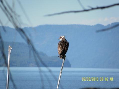 Osprey on a Stick