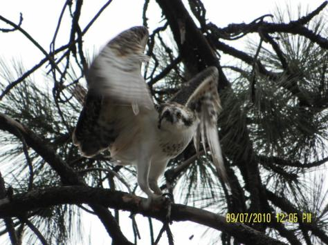 Osprey - Threatening