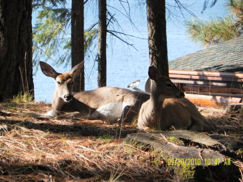 Whitetail Deer - Mother and Daughter - Sam Owen Campground