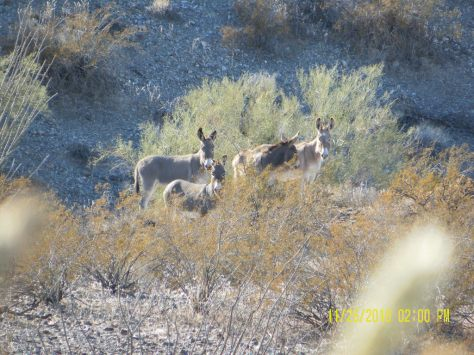 Feral Burros - Sonoran Desert