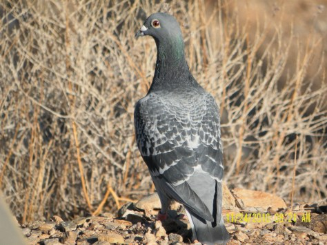 Alamo Lake Pigeon