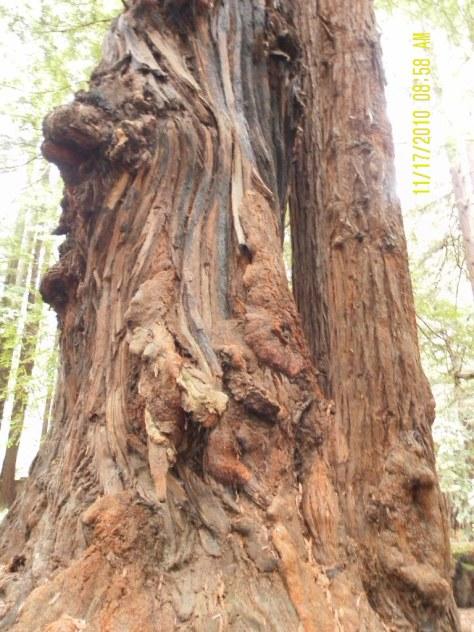Big Burly Redwood