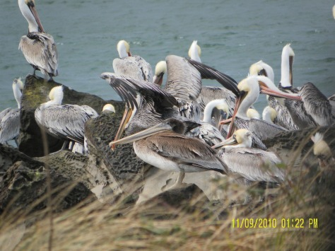 Young Brown Pelican