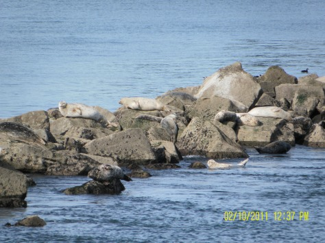 South Jetty Harbor Seals - Newport, OR
