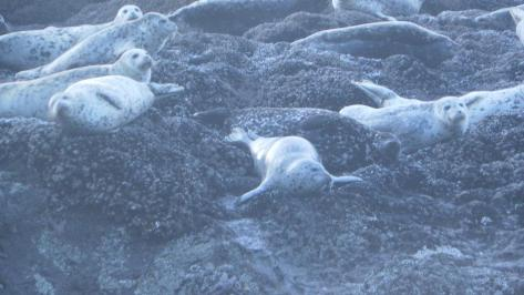 Strawberry Hill Harbor Seals