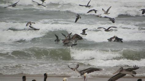 Pelican Feeding Frenzie