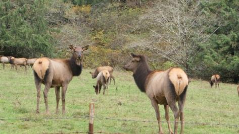 Alsea River Elk