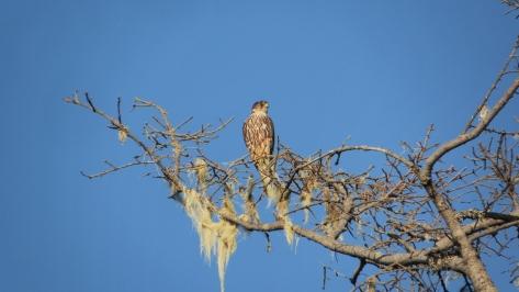 Hawk in Tillicum Campground