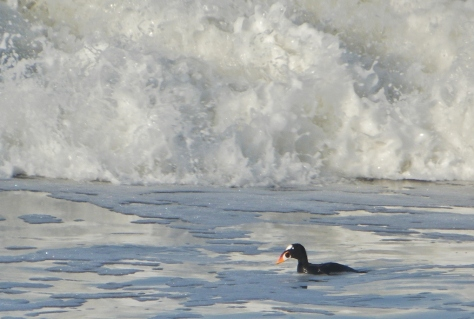 Surf Scoter - about to dive under the wave