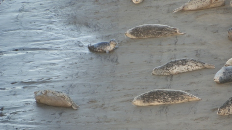 Alsea Bay Seals