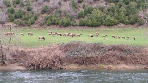 Alsea Elk Herd