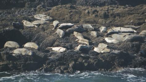 Strawberry Hill Seals - Cape Perpetua Scenic Area