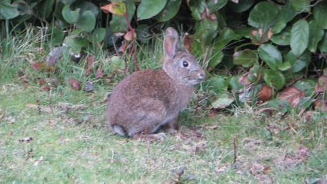 Tillicum Bunny