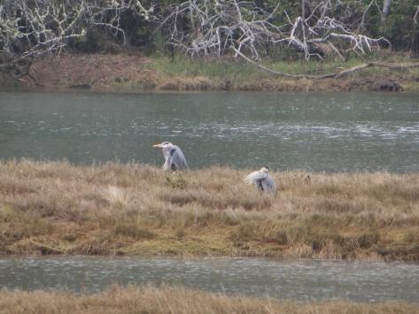 Blue Heron Preening