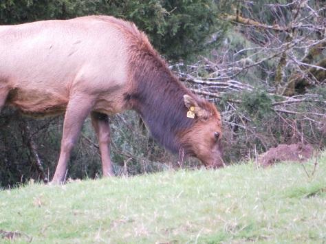 Cow Elk - tag A3