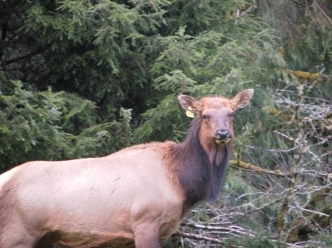 Elk - tagged A3