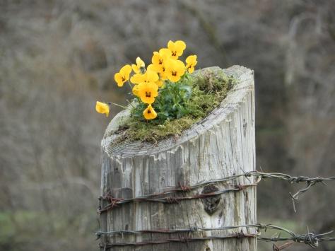 Yellow Pansies on Fencepost