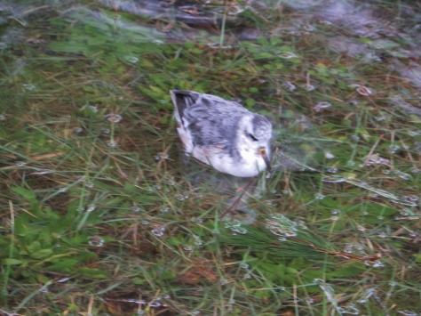 Plover in Tillicum Campground