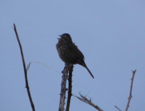 Tillicum Song Bird