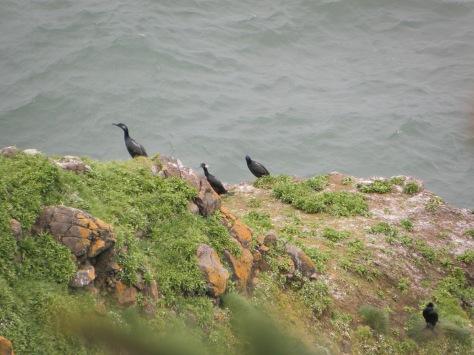 Cormorants?