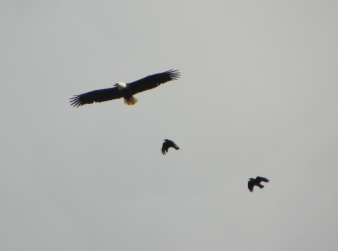 Eagle with Crows Chasing