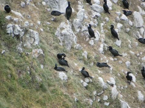 Cormorants with Blue Chin