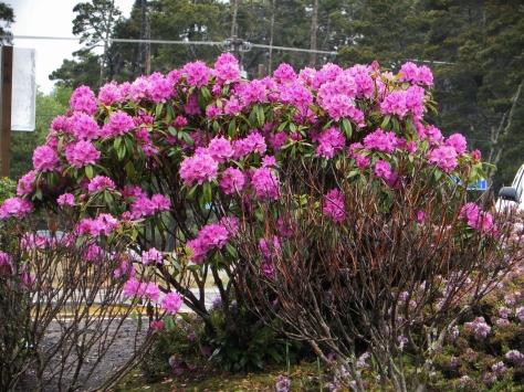 Dark Pink Rhododendron