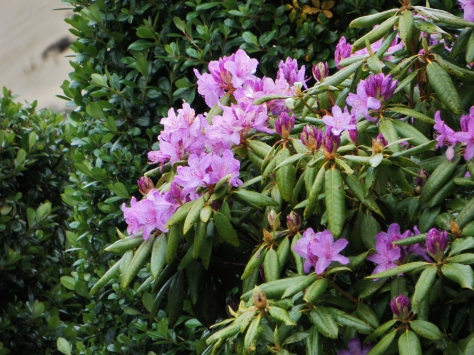 Lavendar Rhododendron
