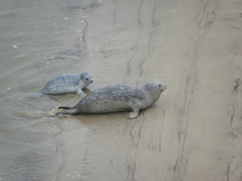 Tagged seal mom with pup