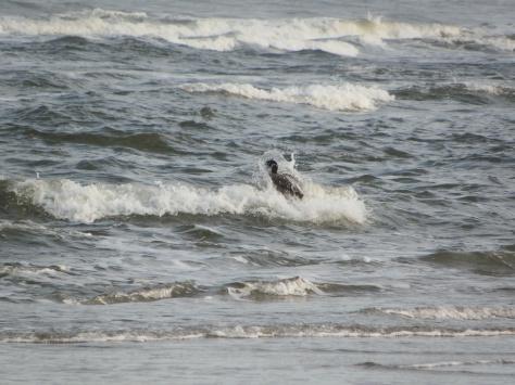 Surfing Goose