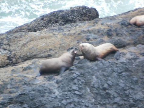Sea Lion males fighting for their harems