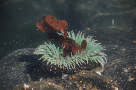 Anemone Eating Some Kelp