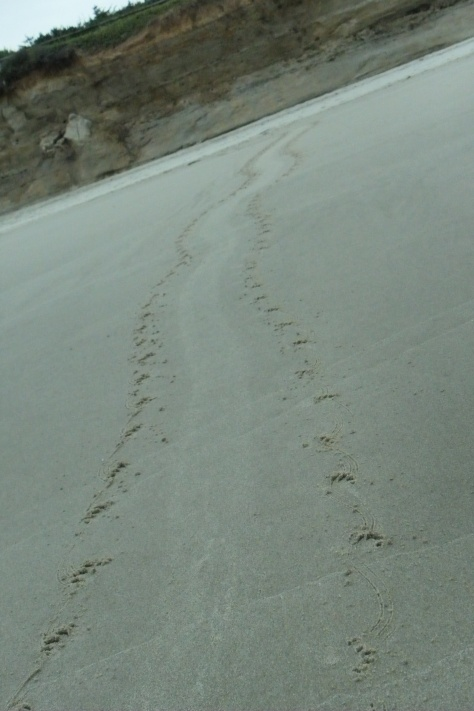 What kind of animal made these tracks on the beach?