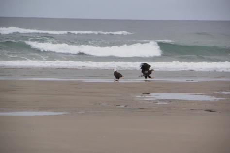 Bald Eagle Adult with Juvenile