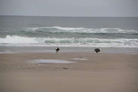 2 adult bald eagles