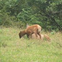 Elk Calving Season